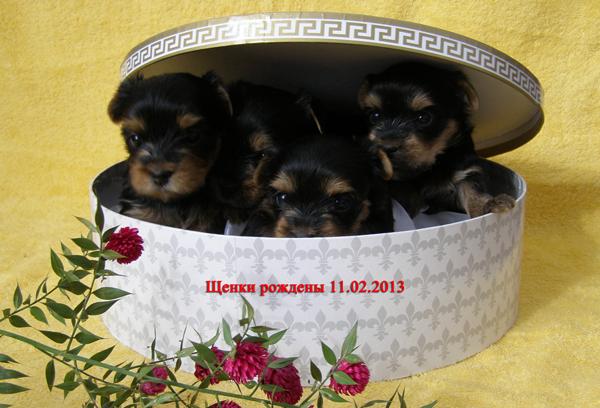 щенки йорки в Самаре