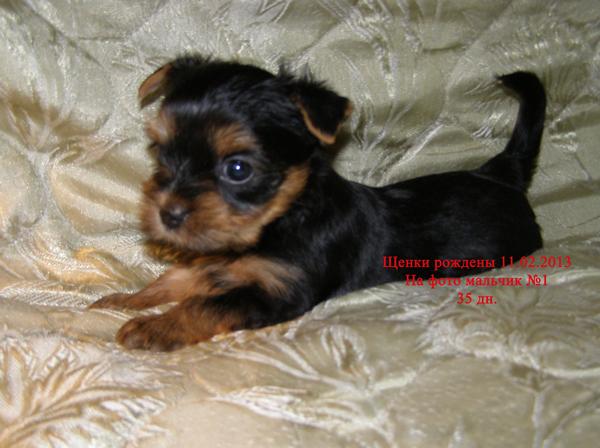 фото щенков йойрков от рождения
