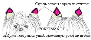стрижка ушей йорка